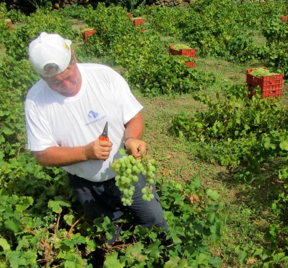A winery worker carefully harvests Zibibbo grapes.